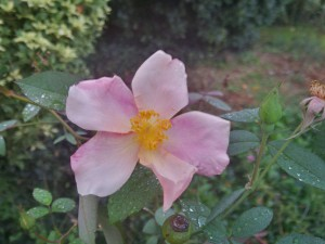 For better blooms next year, prune rose canes now