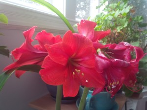 Plant now and amaryllis will banish mid-winter blahs in six weeks