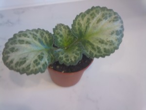 Variegated leaves add to primulina's charm